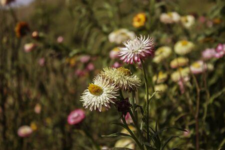 Phetchabunthailand jan 26 paper flowers of phu tabberk phetchabunthailand jan 26 mightylinksfo