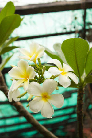 champa flower: Champa flower Stock Photo