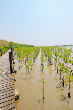 prong: Boardwalk in Tung Prong Thong Golden Mangrove Field in Rayong Thailand