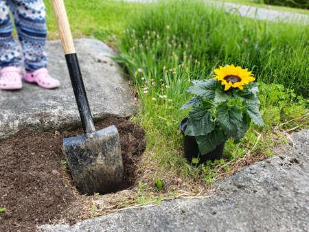 Child planting sun flower. Gardening, planting concept. Stock fotó