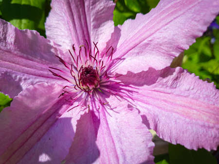 Close-up of pink Clematis flower, green garden in the background. Zdjęcie Seryjne