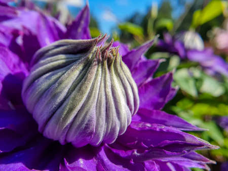 Close-up of purple Clematis flower, green garden and blue sky in the background.