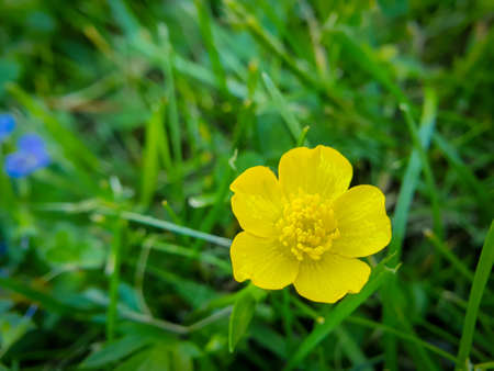 Yellow flower, common tall buttercup, Ranunculus acris on green background.