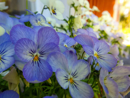 Close up of blue, purple pansy flowers, pansies blooming in spring garden.