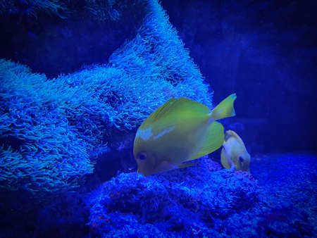 Tropical yellow Tang fish with corals in blue water.