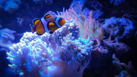 Tropical Clownfish, anemonefish with corals in blue water. Zdjęcie Seryjne