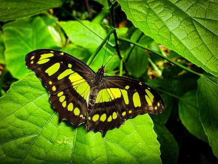 Green, yellow and black butterfly on a green leaf. Philaethria dido, scarce bamboo page or dido longwing butterfly.