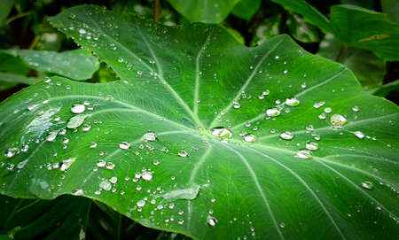 Water drops on large leaf. Humidity and rainforest concept. Zdjęcie Seryjne