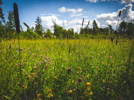 Wild flowers on summer meadow. Sweden