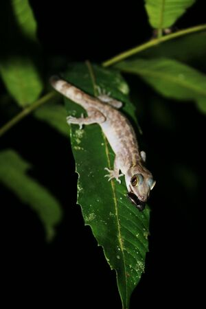 Gecko with mouthful Stock Photo