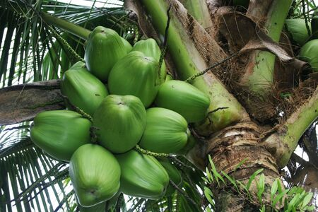 Young coconuts on tree Stock Photo