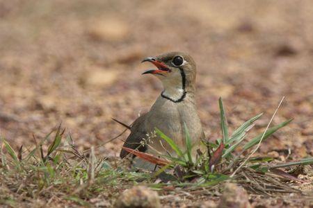 Oriental Pratincole nesting Stock Photo