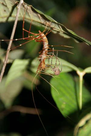 devouring: Centipede devouring spider Stock Photo