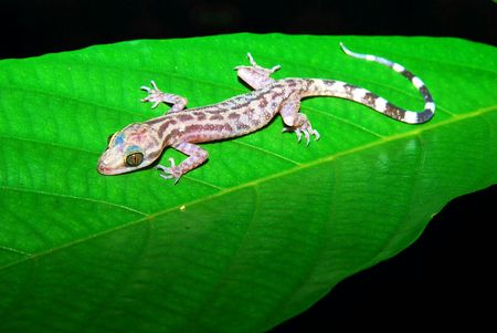 Malayan Marbled Bent-Toed Gecko