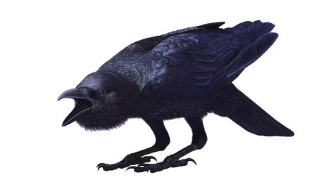 raven: Jungle crow, Corvus macrorhynchos, with open beak is on bent legs, side view  Painted on a white background