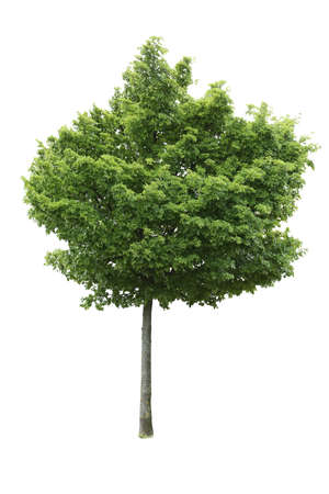 Broad-leaved tree isolated on white background.