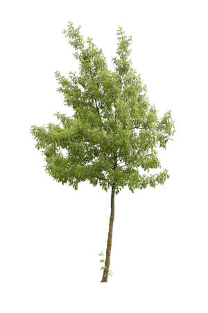 Maple Tree with green leaves, cutout isolated on white background.