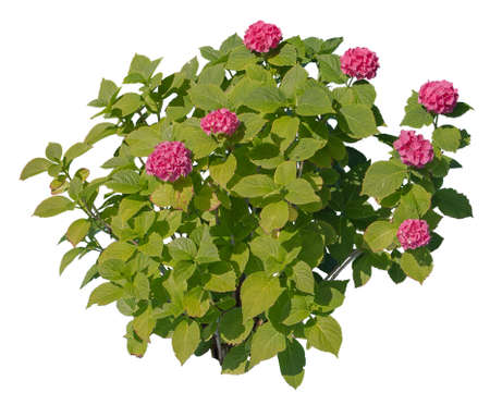 Hydrangea, known also as Hortensia, with pink flowers, cutout plant isolated on white background.