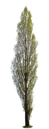 Populus, known also as Poplar tree, isolated on white background. Foto de archivo