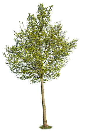 Black cottonwood, a species of Poplar tree with green leaves during spring season, isolated on white background. Standard-Bild