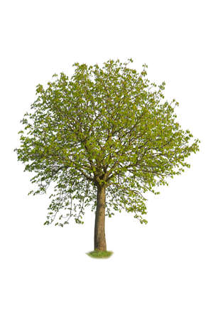 Linden with green leaves isolated on white background, cutout tree.
