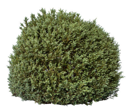Green bush isolated on white background. Cutout plant.