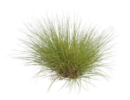 Tuft of grass cutout, Fountain grass, a species of sandburs, isolated on white background.