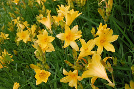 Yellow lilies in a garden against a green grass Stock Photo - 5003943