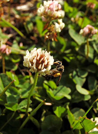 Bee on a white clover Stock Photo - 7916020