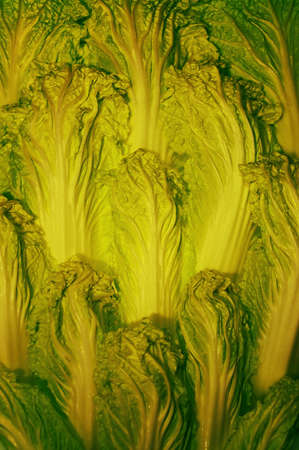 Fresh juicy leaves of Napa cabbage Stock Photo