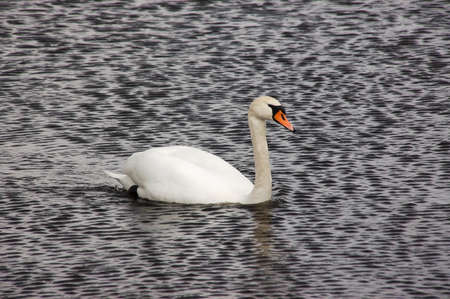 White swan floating down the river Stock Photo - 9012987