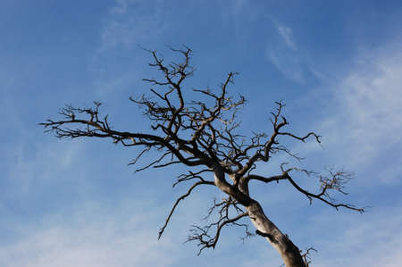The dried up tree against the blue sky.