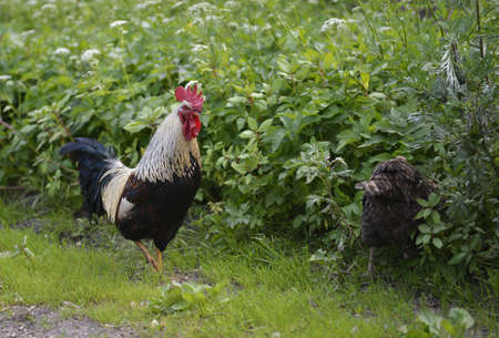 rooster walking in a yard Stock Photo