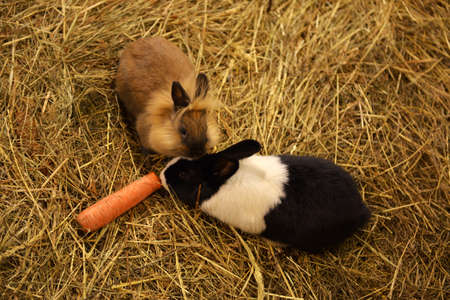 two rabbits on hay with carrot