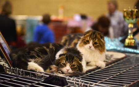 Two kittens of Scottish Fold breed at an exhibition