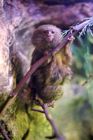 The pygmy marmoset (Cebuella pygmaea) is a world