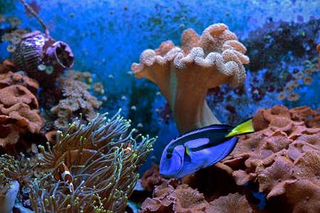 Tropical aquarium fish with algae and corals
