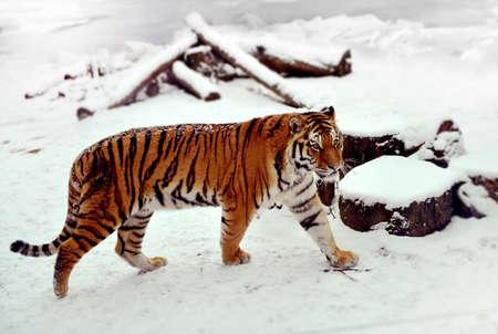 Siberian tiger walking in the snow Stock Photo