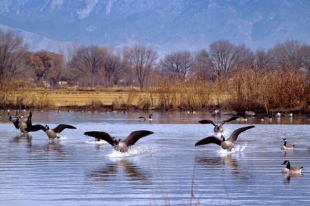 Flock of Canadian geese landing on a pond in New Mexico with blue mountains in the background.