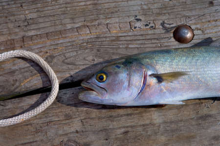 A just-caught, brightly colored Bluefish, on a wooden fishing pier, with a loop of rope Stock Photo - 2276922