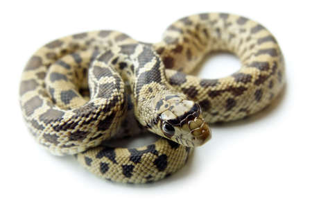 snake head: Detailed closeup of a bull snake, also known as gopher snake, with its head in foreground, on a white background.