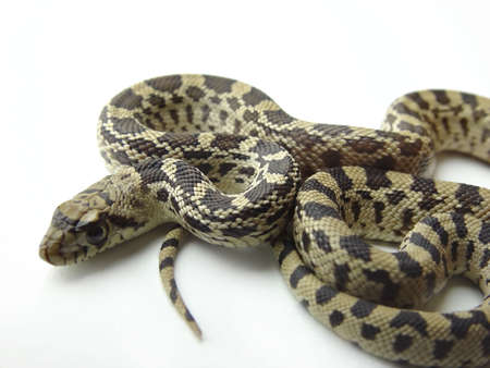 gopher: Large gopher snake, also known as bull snake on a white background Stock Photo