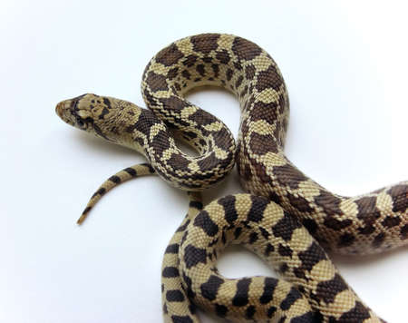 bull snake: Large gopher snake, also known as bull snake on a white background Stock Photo