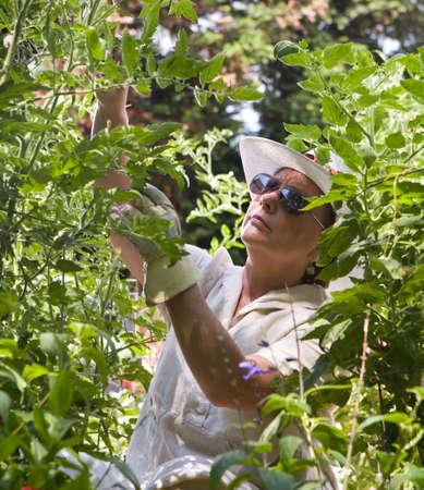 Mature woman tending her summer garden, framed by tomatoe plants and greenery Standard-Bild