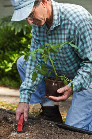 Mature man planting a tomato plant in the garden. Closeup. Standard-Bild
