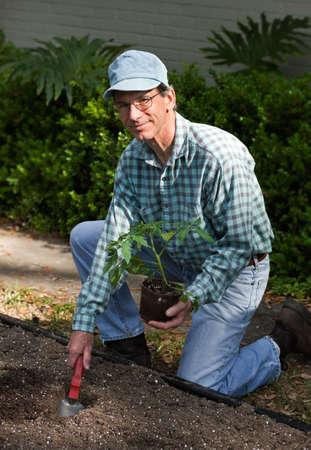 Man kneeling on the ground next to his freshly dug garden planting a large tomato plant.