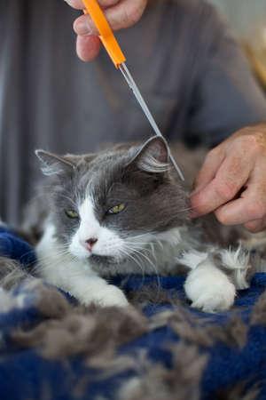 Closeup of man giving a Persian cat a haircut. Selective focus on cats face. photo