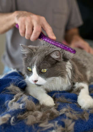 groomer: Persian cat getting a haircut and brushing at home. Selective focus on cats face. Stock Photo