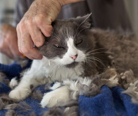 cat grooming: Man giving a Persian cat a haircut. Selective focus on the cats face.