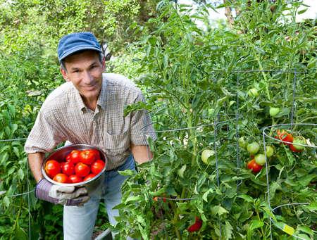 Glimlachende man picking tomaten in zijn tuin.